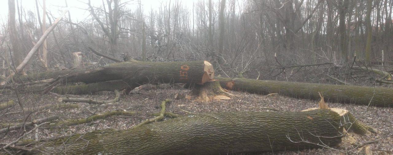Nelegálny výrub lesa